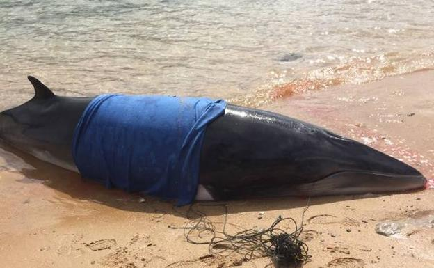 283e03dacd2c Una ballena de 6 metros vara en la playa de Bikini | El Diario Montañes